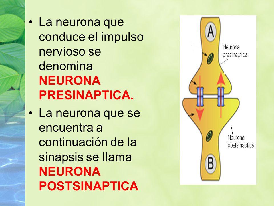 La neurona que conduce el impulso nervioso se denomina NEURONA PRESINAPTICA.