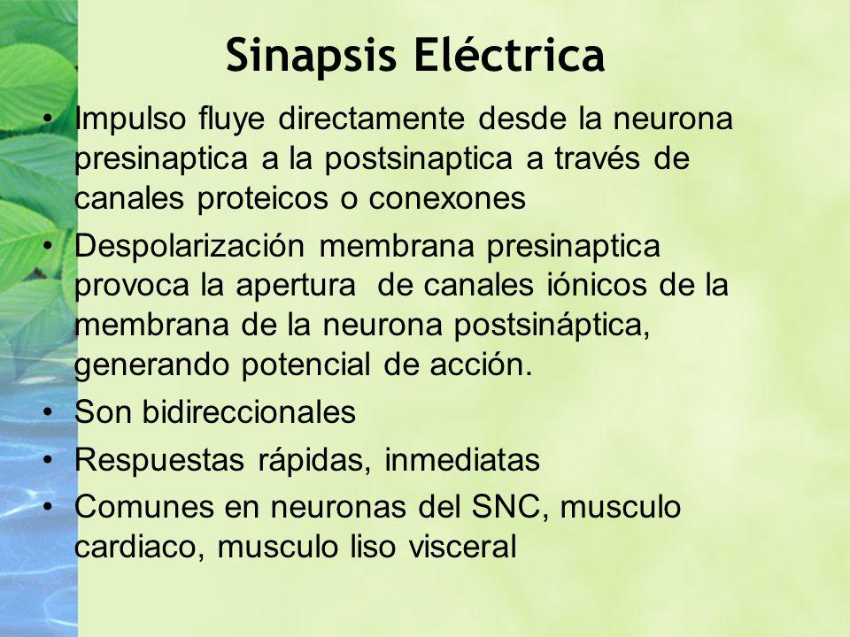 Sinapsis Eléctrica Impulso fluye directamente desde la neurona presinaptica a la postsinaptica a través de canales proteicos o conexones.