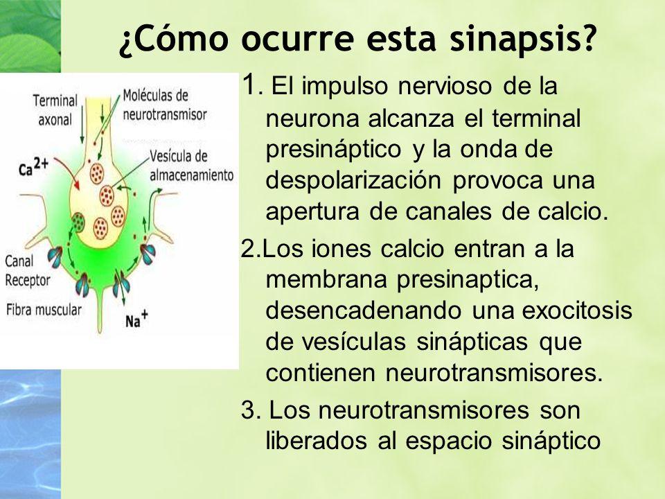 ¿Cómo ocurre esta sinapsis