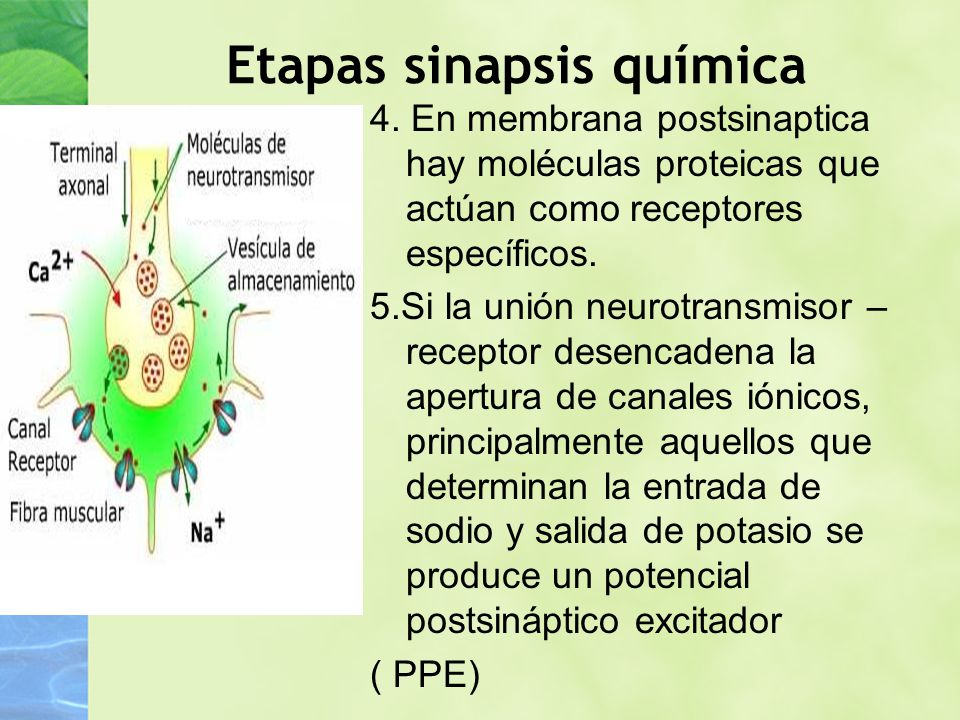 Etapas sinapsis química