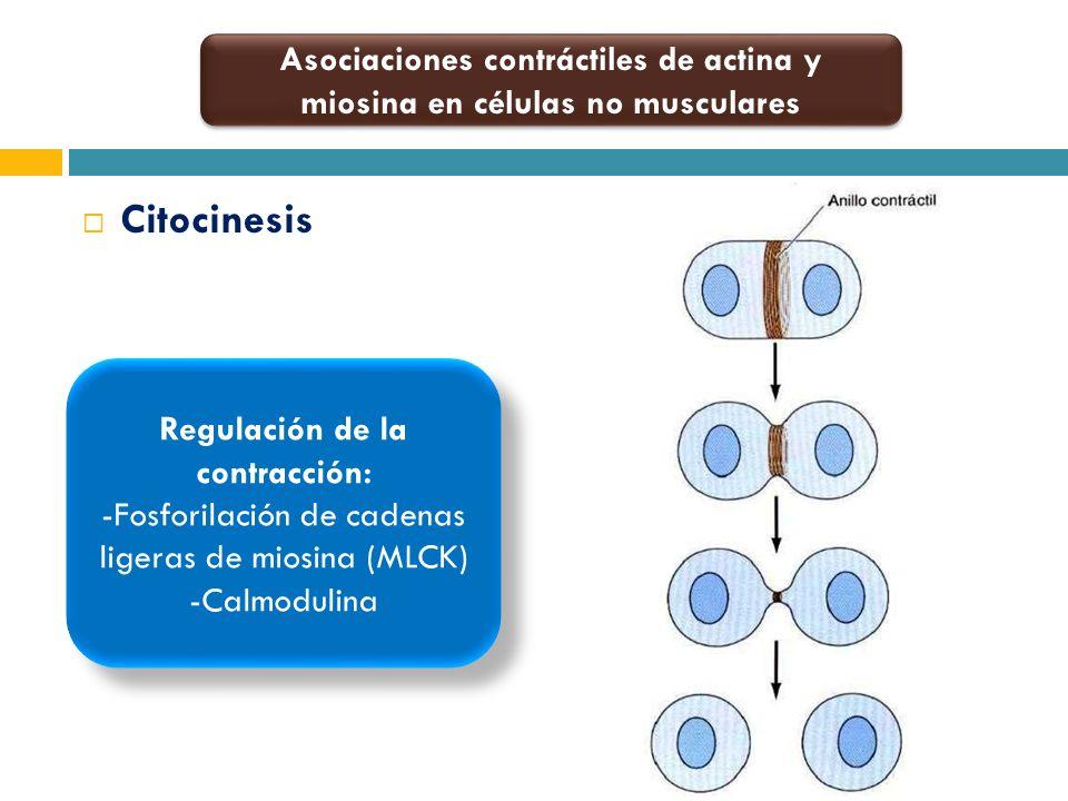 Asociaciones contráctiles de actina y miosina en células no musculares