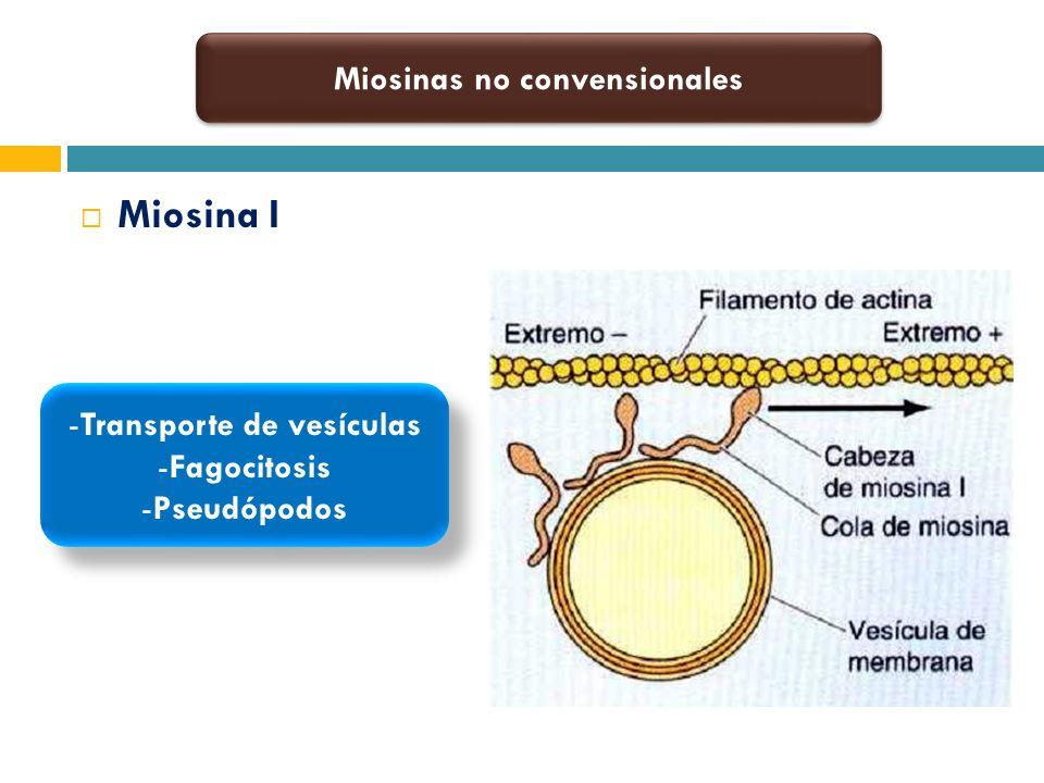 Miosinas no convensionales Transporte de vesículas