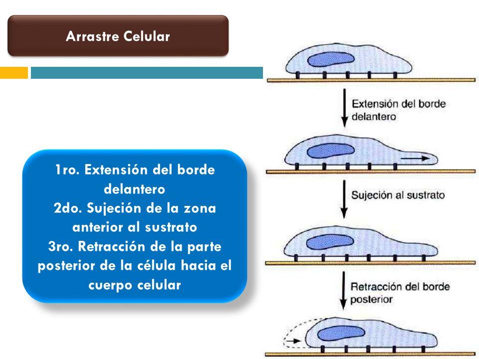 1ro. Extensión del borde delantero