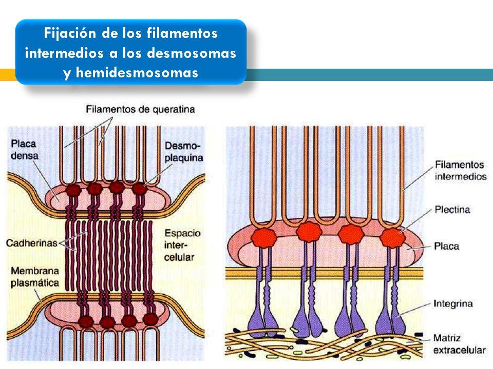 Fijación de los filamentos intermedios a los desmosomas y hemidesmosomas