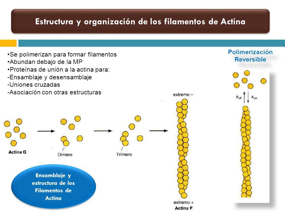 Estructura y organización de los filamentos de Actina