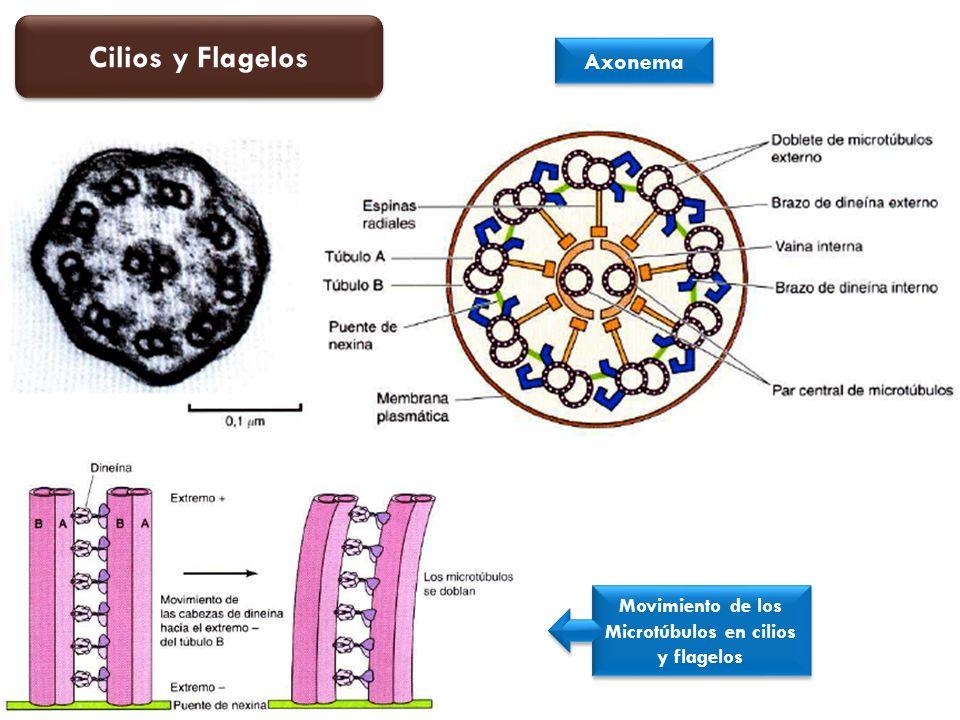 Movimiento de los Microtúbulos en cilios y flagelos