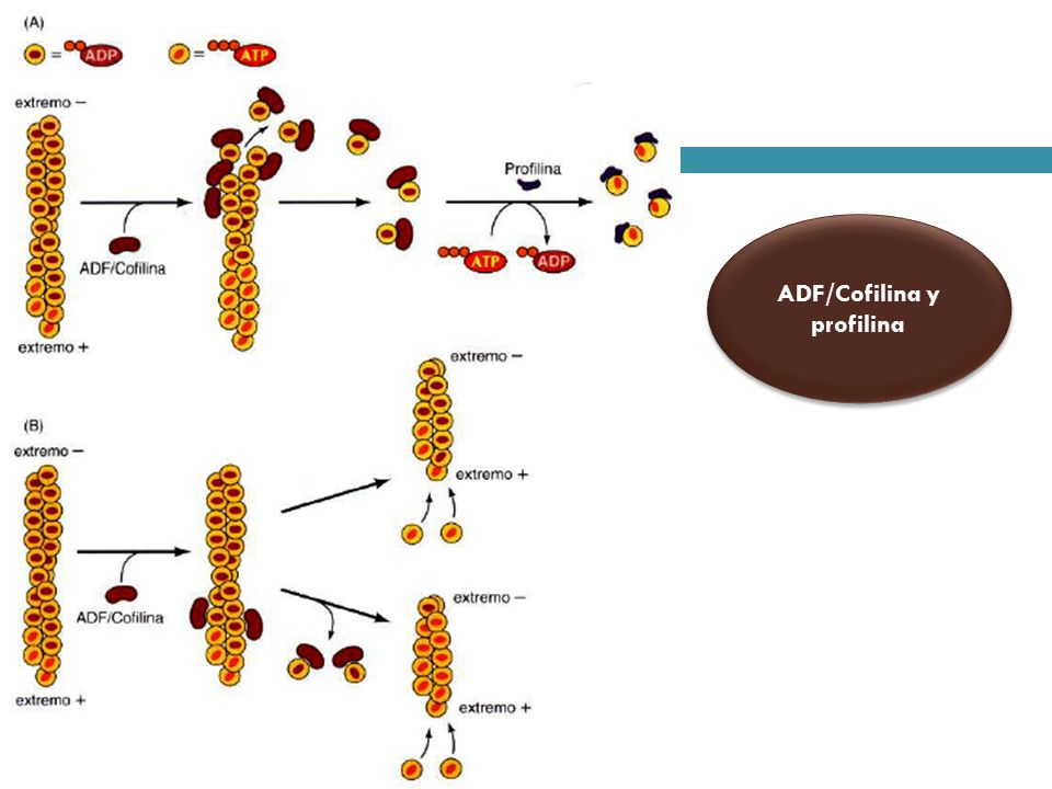 ADF/Cofilina y profilina