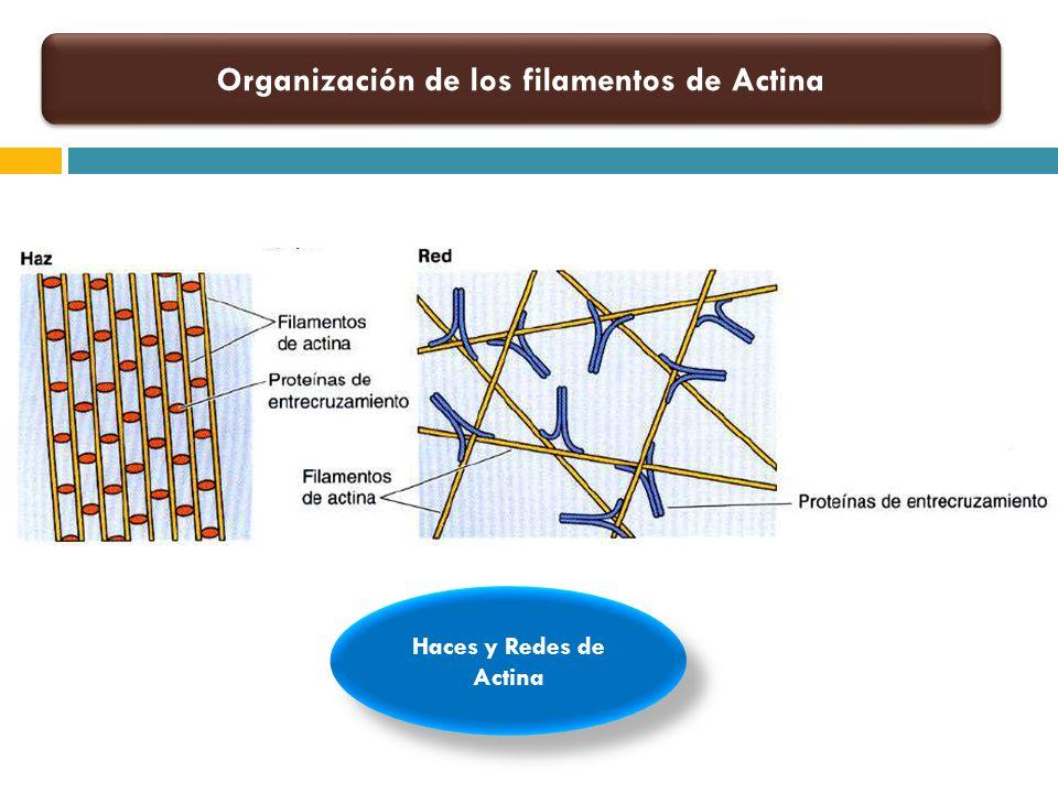 Organización de los filamentos de Actina