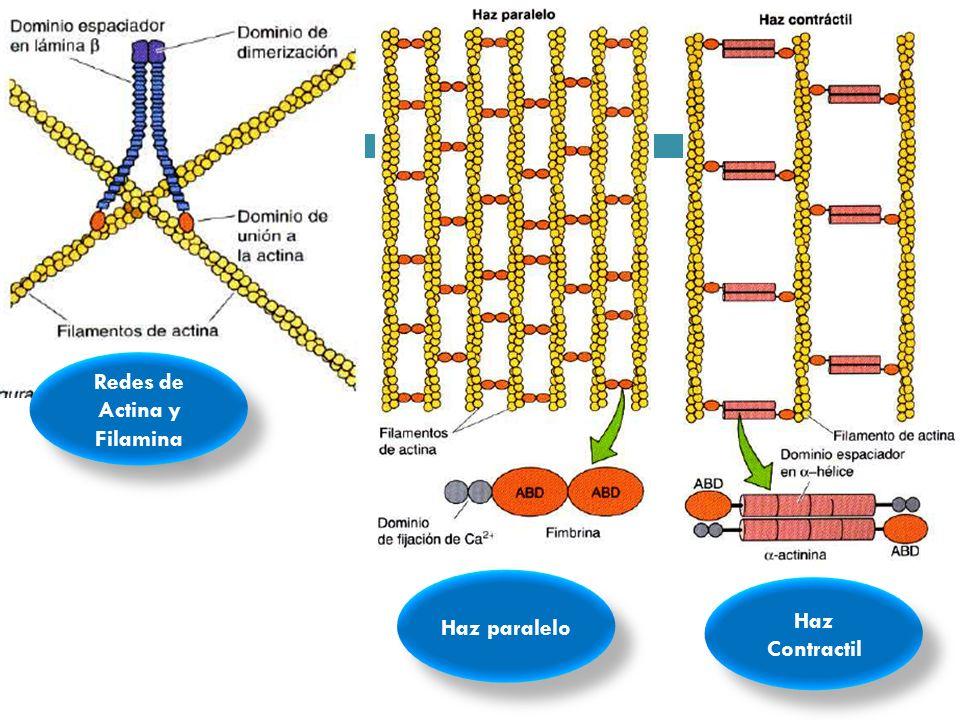 Redes de Actina y Filamina