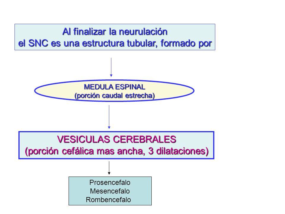 Al finalizar la neurulación