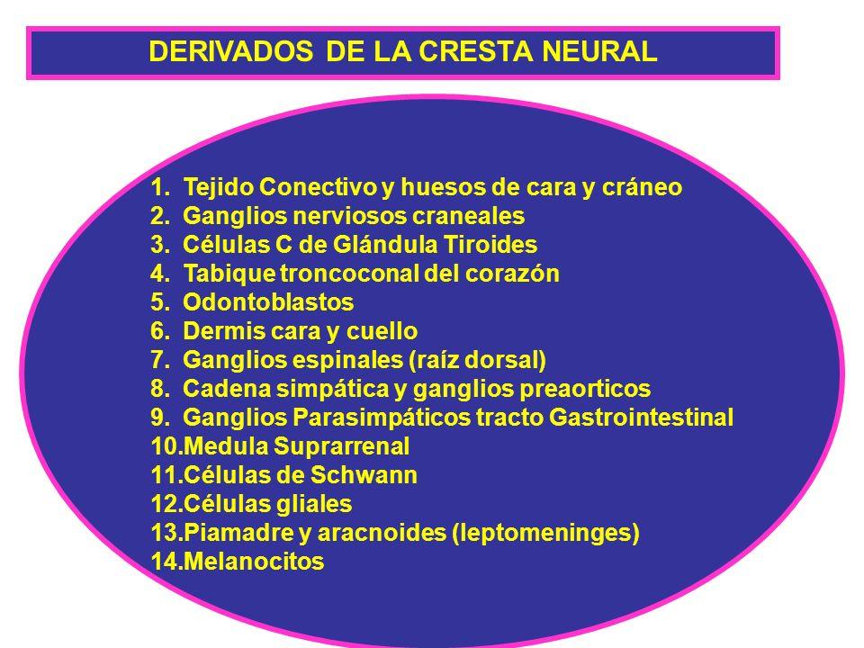 DERIVADOS DE LA CRESTA NEURAL