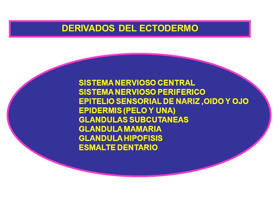 DERIVADOS DEL ECTODERMO