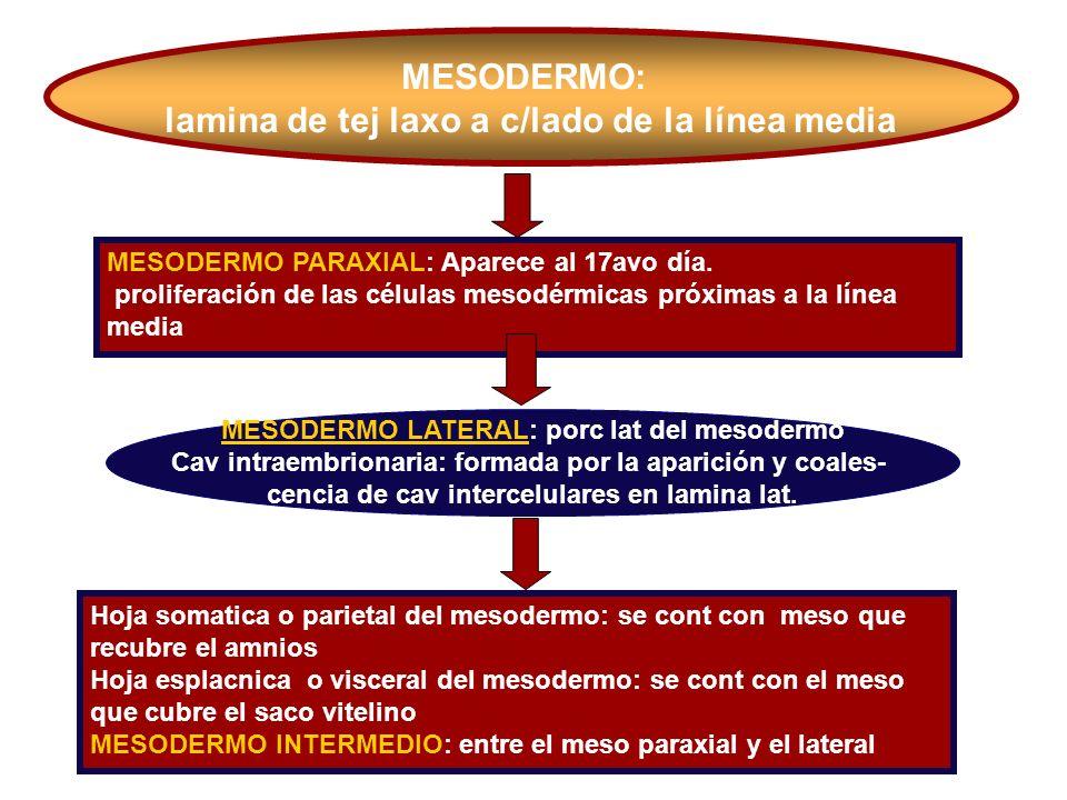 MESODERMO: lamina de tej laxo a c/lado de la línea media