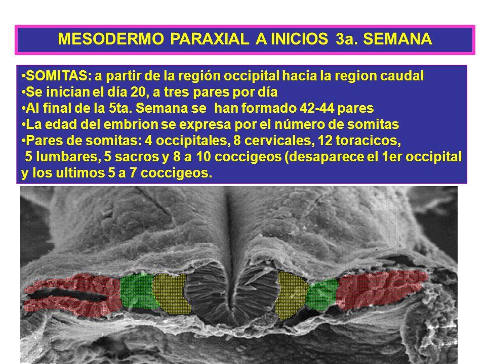 MESODERMO PARAXIAL A INICIOS 3a. SEMANA