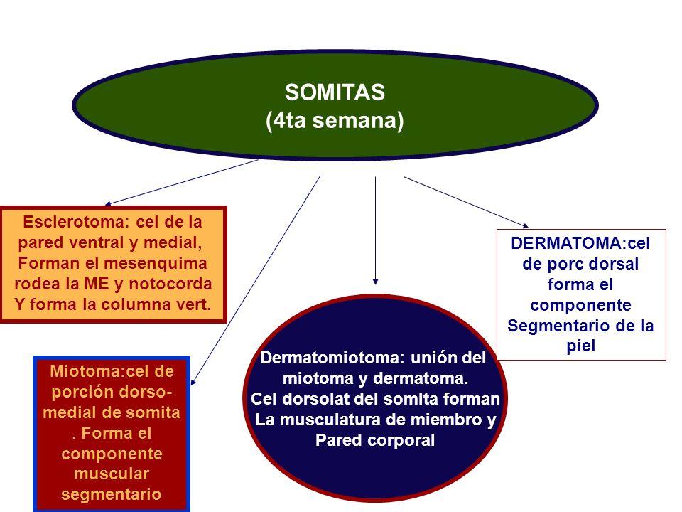 SOMITAS (4ta semana) Esclerotoma: cel de la pared ventral y medial,