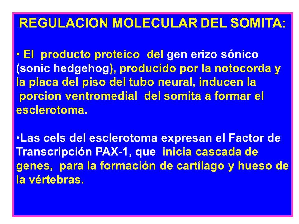 REGULACION MOLECULAR DEL SOMITA: