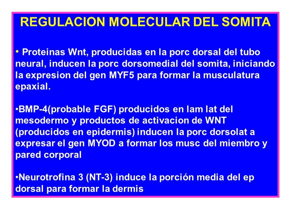 REGULACION MOLECULAR DEL SOMITA