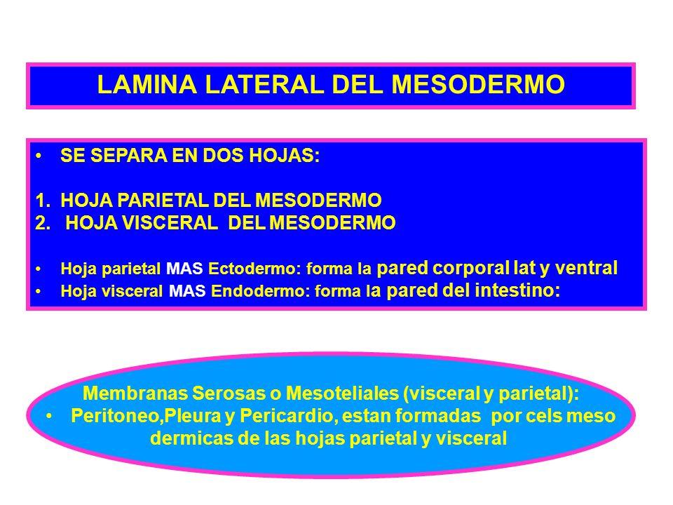 LAMINA LATERAL DEL MESODERMO
