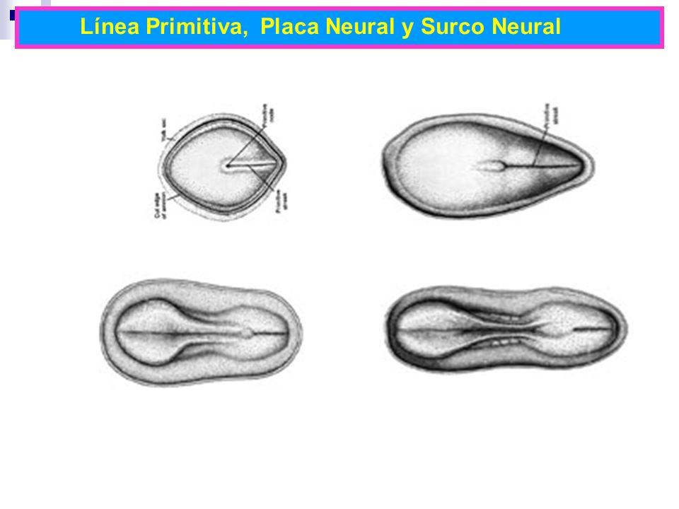 Línea Primitiva, Placa Neural y Surco Neural