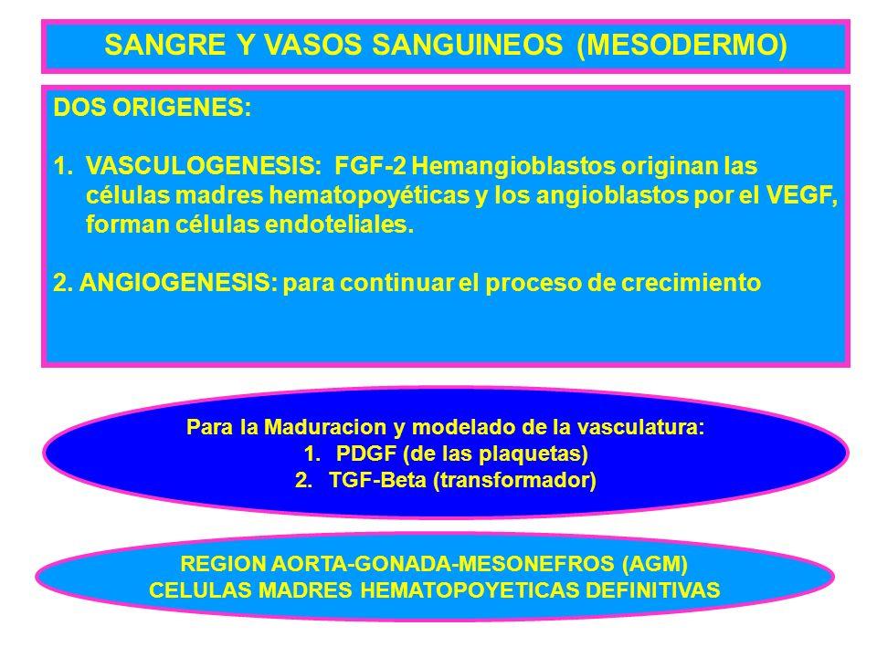 SANGRE Y VASOS SANGUINEOS (MESODERMO)