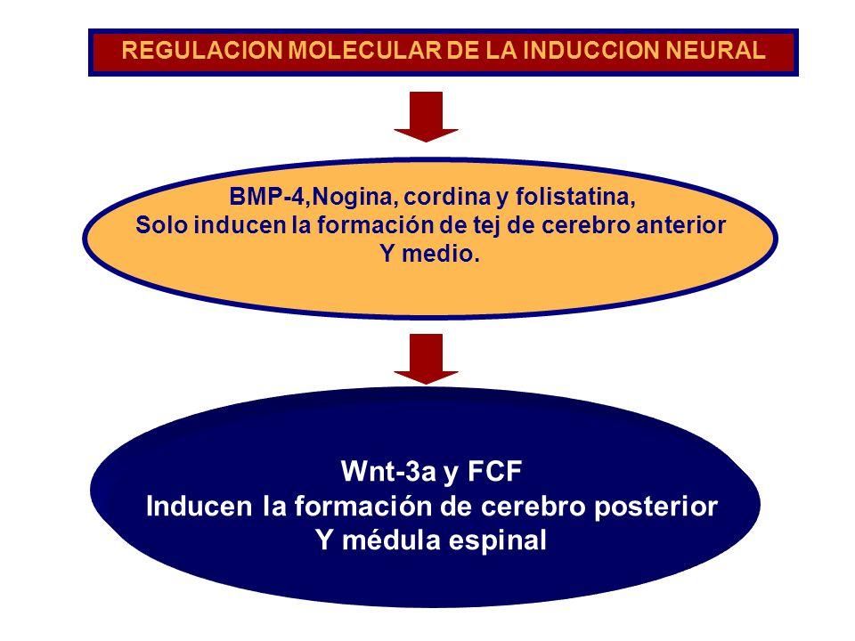 Inducen la formación de cerebro posterior Y médula espinal