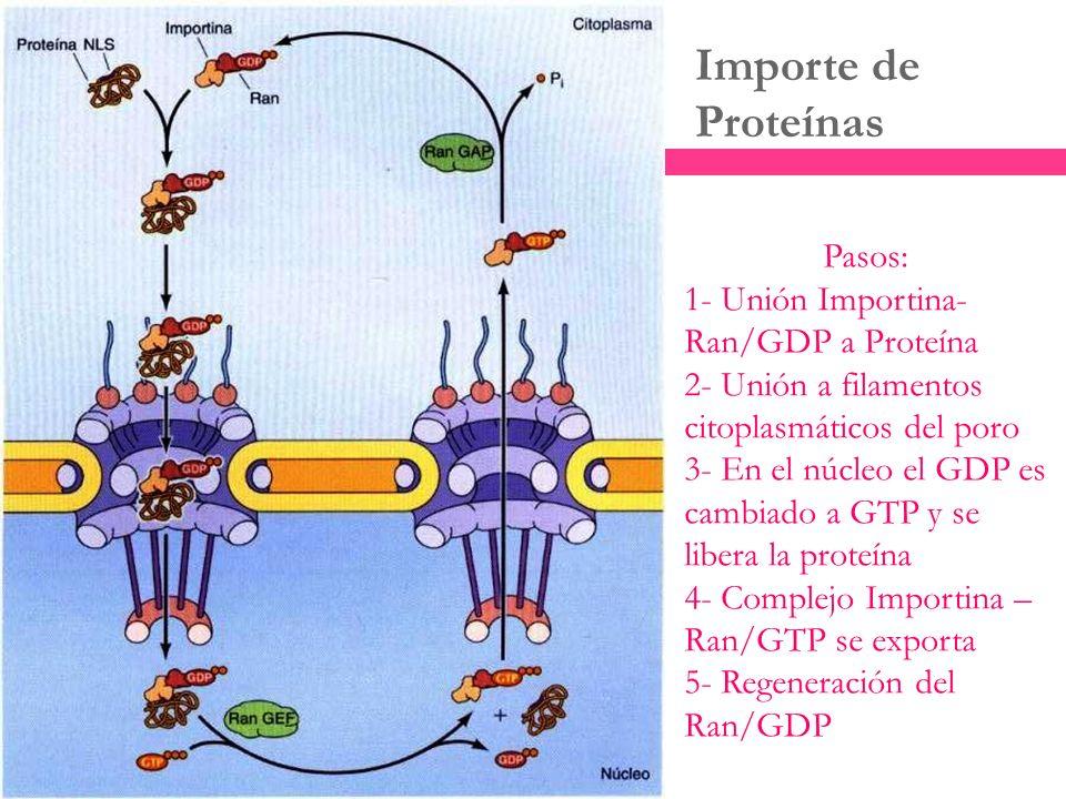 Importe de Proteínas Pasos: 1- Unión Importina-Ran/GDP a Proteína