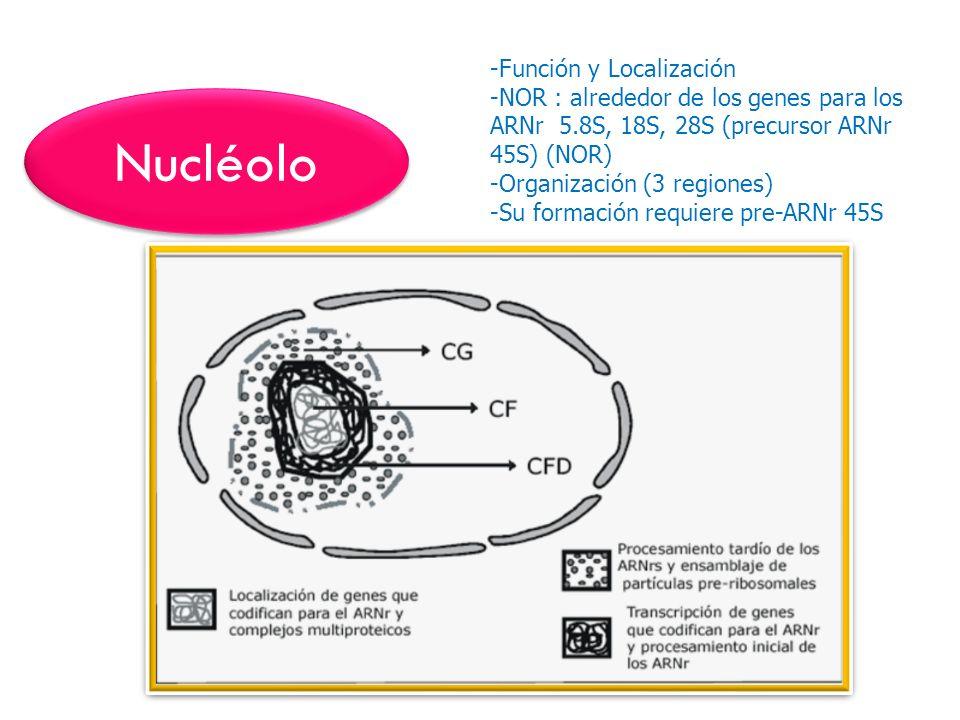Nucléolo Función y Localización