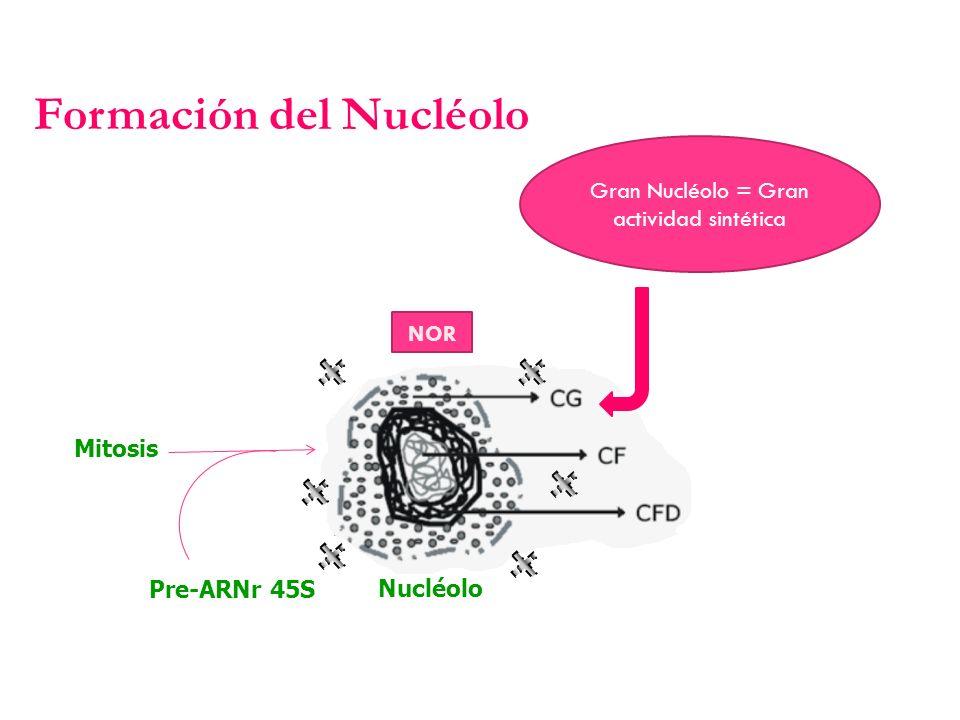 Gran Nucléolo = Gran actividad sintética