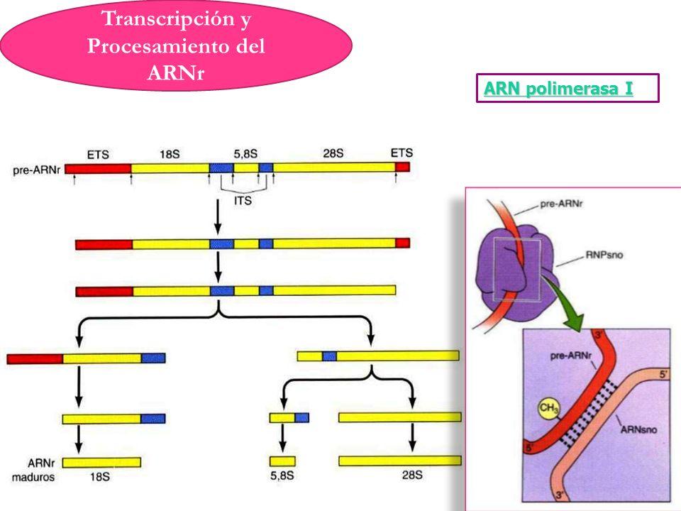 Transcripción y Procesamiento del ARNr