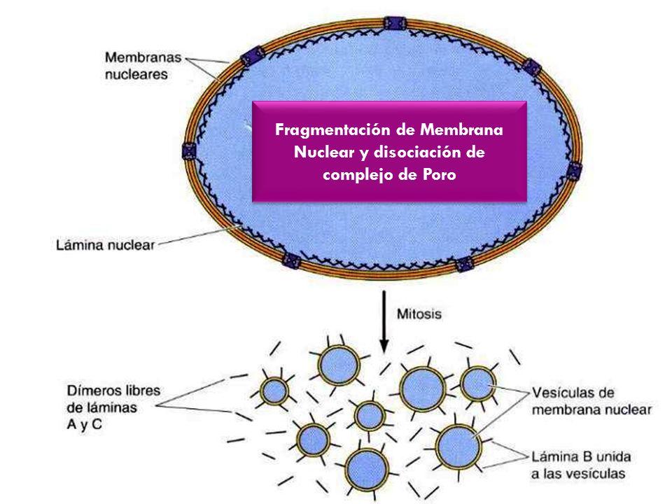 Fragmentación de Membrana Nuclear y disociación de complejo de Poro