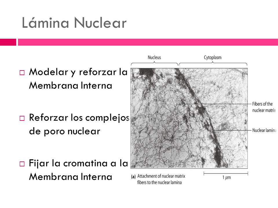 Lámina Nuclear Modelar y reforzar la Membrana Interna