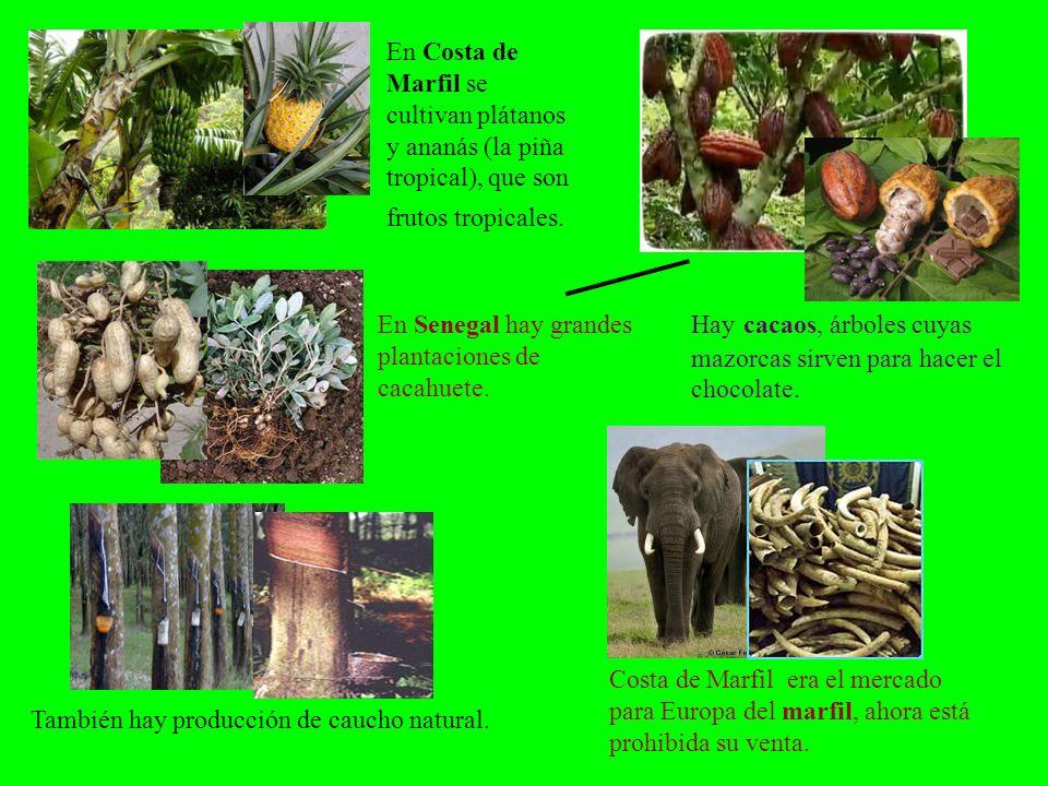 En Costa de Marfil se cultivan plátanos y ananás (la piña tropical), que son frutos tropicales.