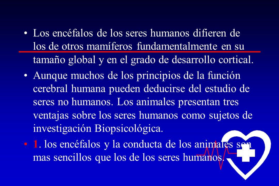 Los encéfalos de los seres humanos difieren de los de otros mamíferos fundamentalmente en su tamaño global y en el grado de desarrollo cortical.
