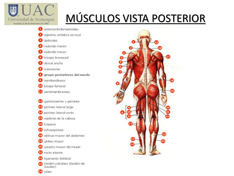 Lujo Músculos Del Cuerpo Vista Trasera Patrón - Imágenes de Anatomía ...