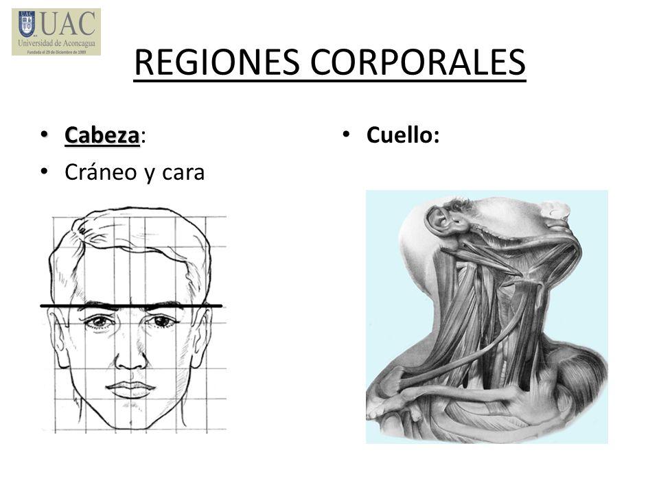 REGIONES CORPORALES Cabeza: Cráneo y cara Cuello:
