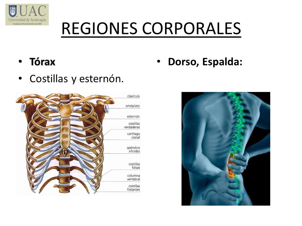 REGIONES CORPORALES Tórax Costillas y esternón. Dorso, Espalda: