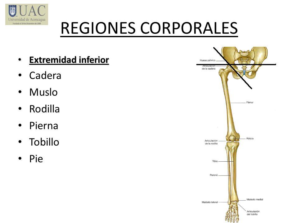 REGIONES CORPORALES Cadera Muslo Rodilla Pierna Tobillo Pie