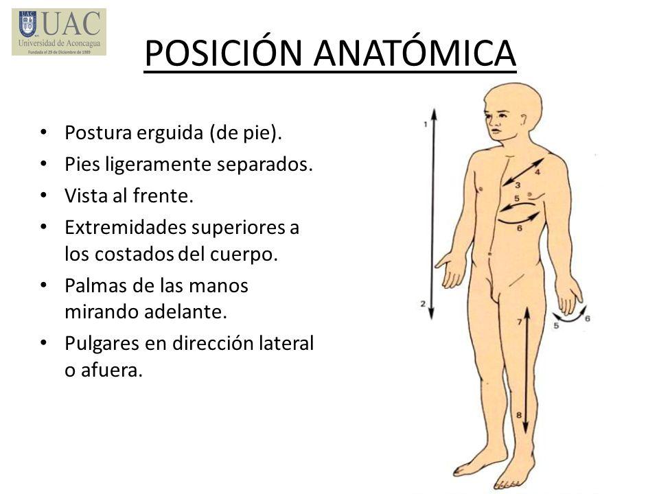 POSICIÓN ANATÓMICA Postura erguida (de pie).