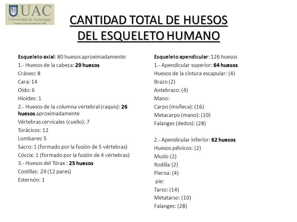 CANTIDAD TOTAL DE HUESOS DEL ESQUELETO HUMANO