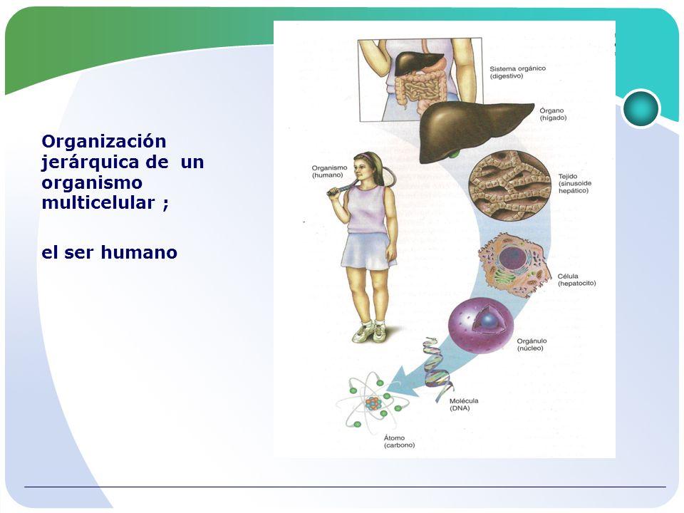 Organización jerárquica de un organismo multicelular ;