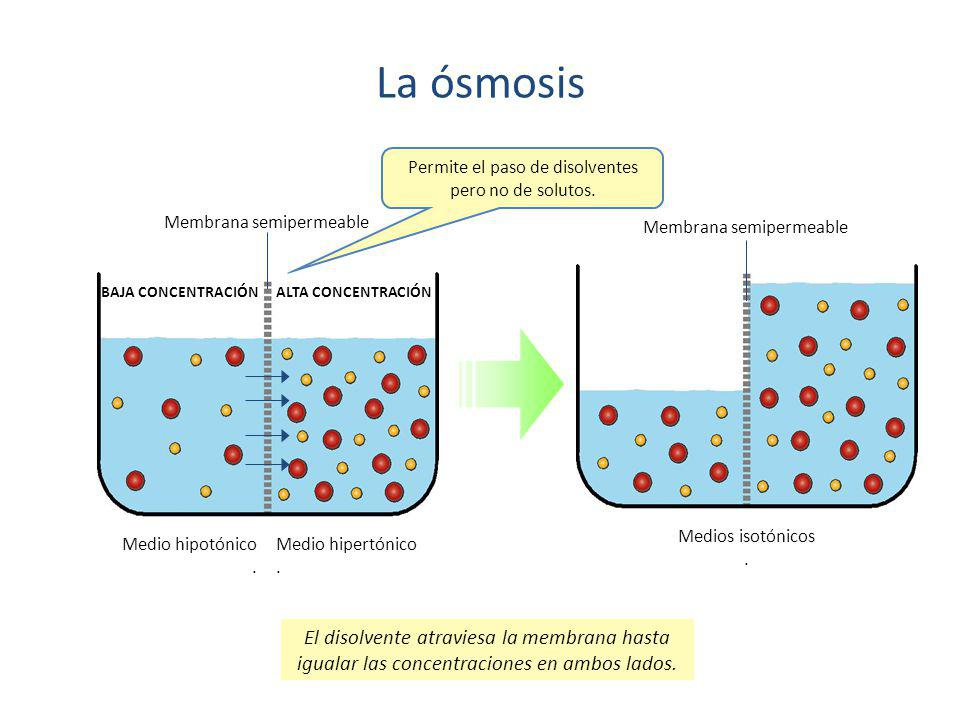 La ósmosis Permite el paso de disolventes pero no de solutos. Membrana semipermeable. Membrana semipermeable.