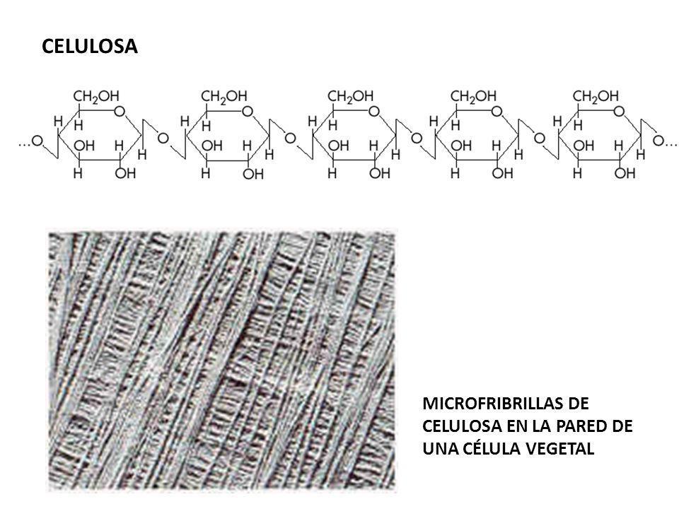 CELULOSA MICROFRIBRILLAS DE CELULOSA EN LA PARED DE UNA CÉLULA VEGETAL
