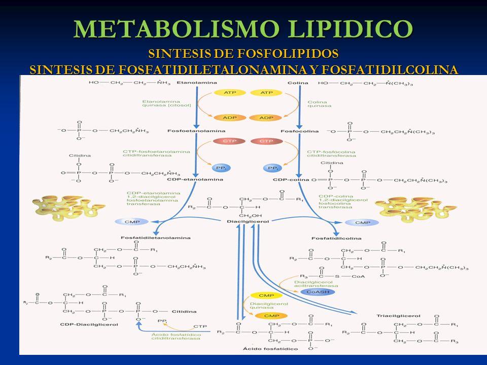 METABOLISMO LIPIDICO SINTESIS DE FOSFOLIPIDOS SINTESIS DE FOSFATIDILETALONAMINA Y FOSFATIDILCOLINA