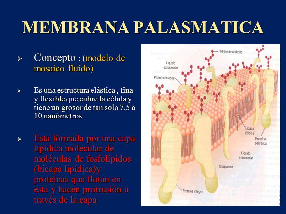 MEMBRANA PALASMATICA Concepto : (modelo de mosaico fluido)