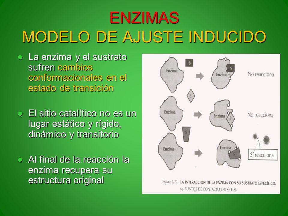 ENZIMAS MODELO DE AJUSTE INDUCIDO