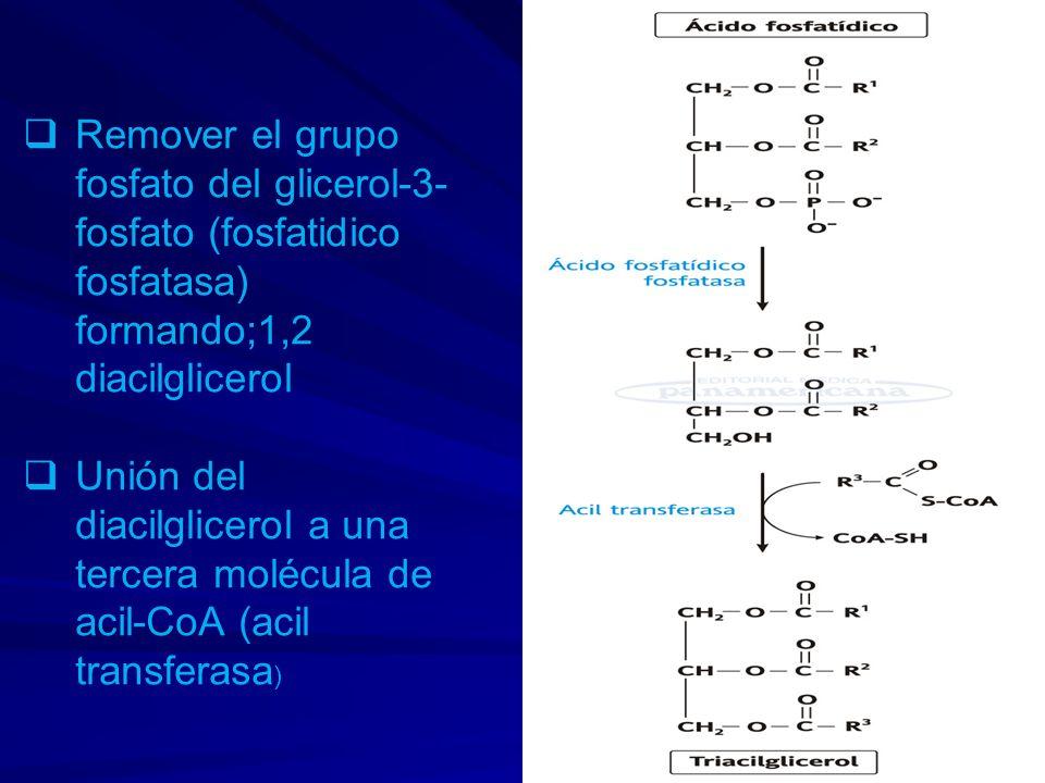 Remover el grupo fosfato del glicerol-3-fosfato (fosfatidico fosfatasa) formando;1,2 diacilglicerol