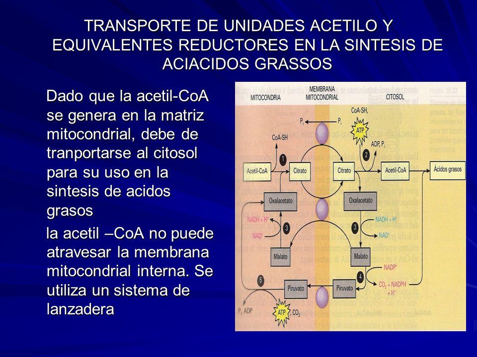 TRANSPORTE DE UNIDADES ACETILO Y EQUIVALENTES REDUCTORES EN LA SINTESIS DE ACIACIDOS GRASSOS