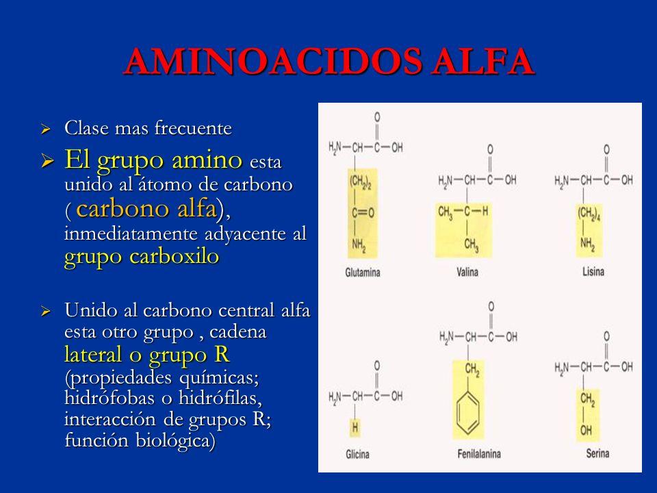 AMINOACIDOS ALFAClase mas frecuente.