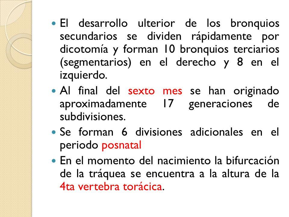 El desarrollo ulterior de los bronquios secundarios se dividen rápidamente por dicotomía y forman 10 bronquios terciarios (segmentarios) en el derecho y 8 en el izquierdo.