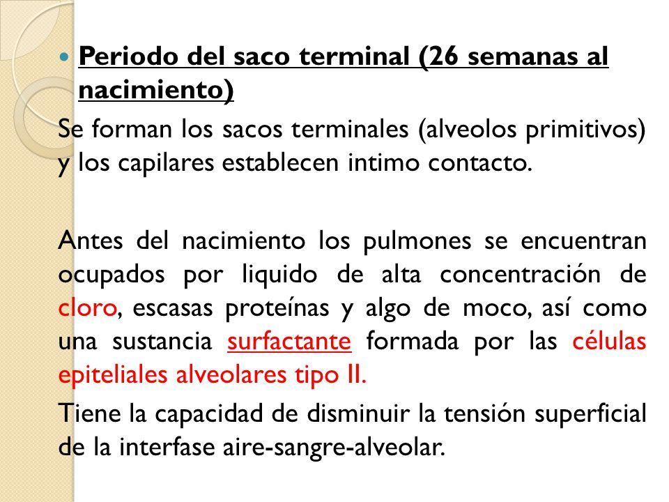 Periodo del saco terminal (26 semanas al nacimiento)